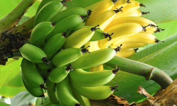 Всем ли полезны бананы?