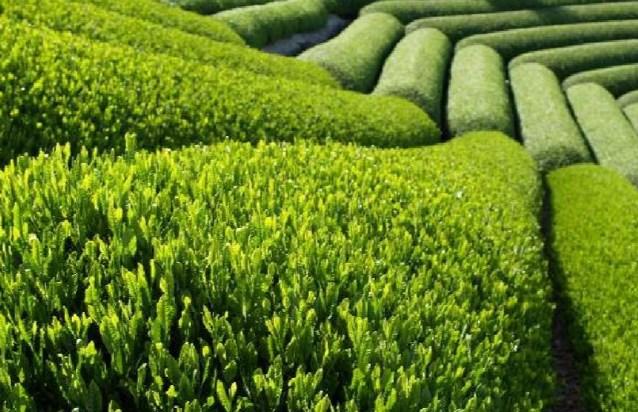 Компонент зеленого чая может стать лекарством от рака кожи