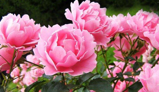 Цветы – новый метод терапии различных заболеваний